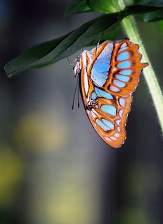 This malachite butterfly (Siproeta stelenes) was one of many species at Brookside Gardens in Silver Spring, #Maryland, just outside of #Washington, D.C. Photo and caption by Victor Russillo.
