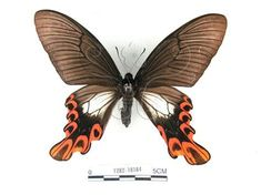 Broad-tailed Swallowtail
