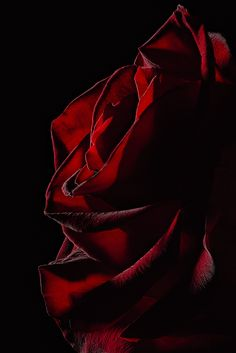 Light hides and light reveals the beauty of this majestic red rose