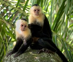 White-Headed Capuchin | White-headed capuchin (Cebus capucinus), Manuel Antonio National Park ...