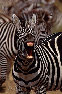 Africa | Burchell's zebra, Masai Mara National Reserve, Kenya | © Art Wolfe