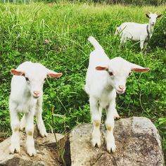 These two adorable dogs are really in the spirit of Christmas, they can't wait to get out in Santa's sleigh in the snow on Christmas day! Getter, Cute Goats, Baby Goats, Cows, Barns, Sheep, Aesthetics, Creatures, Dreams