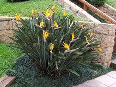 Estrelícia | Jardín de las Ideas STIHL - Jardinería Consejos y paisajismo