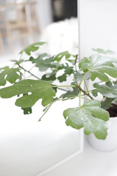 Fig plant, White living room, stylizimo home