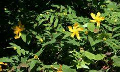 plantes d'ombre - opter pour le Millepertuis à grandes fleurs jaunes