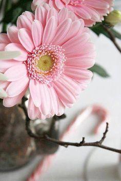 278 Best Gerbera Images Beautiful Flowers Colors Gardens