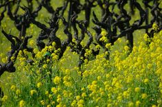 Mustard and Old Vines - Gallery wrapped Giclée on canvas