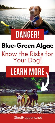 Are you planning on travelling with your dog this summer? Do you have a camping dog? Before you got, make sure that you know the dangers of blue-green algae to your dog! Make dog safety a priority!   #bluegreenalgae #bluegreenalgaedog #campingdog #dogsafety #dogsafetysummer