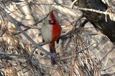 "Half-Female, Half-Male Cardinal is a Lonely Bird, a split-sex ""gynandromorph"""