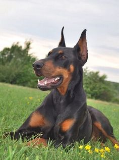 I miss my Doberman soooooo much that my heart hurts. He was the most amazing dog and I can't wait for the day when I get another.
