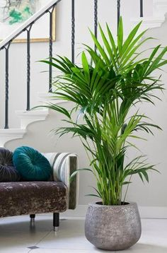 Indoor palm species, their properties & tips for the right .-Zimmerpalmen Arten, ihre Eigenschaften & Tipps zur richtigen Pflege Caring for indoor palms properly – tips for the Kentia palm - Indoor Palms, Best Indoor Plants, Indoor Plant Decor, Palm Plants, Big Plants, Shade Plants, Tropical Plants, Living Room Plants, House Plants Decor
