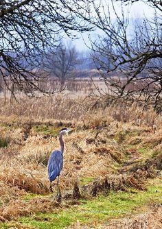 Great Blue Heron hunts in a wetlands area of northwest Oregon