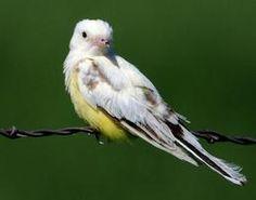 leucistic western kingbird