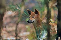 Динго (Цанис лупус динго): Упркос томе што је од кључног значаја за његовог екосистема, на динго, дивљи пас, је много оспораваном и Мисундерстоод врста.  Његово присуство користи многе друге угрожена сисара, птица и гмизаваца смањењем популације дивљих мачака и лисица, за које се сматра да је највећа претња Аустралиан вилдлифе.Номинатед од: Вилдлифе Ланд Труст