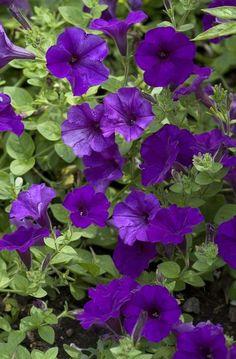 The dark blue petunias smell really good.