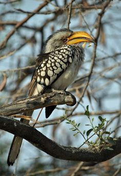 The Southern Yellow-billed Hornbill, Tockus leucomelas, is a Hornbill found in Southern Africa.
