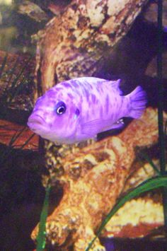 This yellow and purple fish are sooo beautiful pretty for Purple freshwater fish