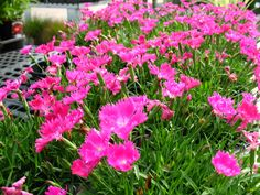 Dianthus 'Kahori' (Pinks) Just bought a whole bunch of these for my garden!