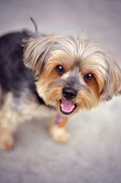 Yorkshire Terrier @Courtney Baker Baker Baker Slegr this looks like lacie kay! :)