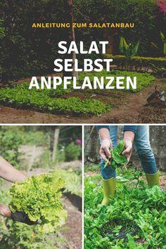 Salat anbauen ist super einfach. Welche Ansprüche stellen Salat-Pflanzen an Boden, Licht und Umgebung? Welche Salat-Sorten sind zu empfehlen? Viele Tipps zum Salat-Anbau im Hochbeet, Garten oder auf dem Balkon bekommst du hier: #salat #anbau #pflanzen #standort #wann #zeitpunkt #sorten #nährstoffe #erde #hochbeet #balkon #dauer #pflege #wasser #licht #tipps #ideen #salatanbau #anleitung #experte Bonsai, Sprouts, Green Lawn, Summer Time, Super Simple, Environment, Boden, String Garden