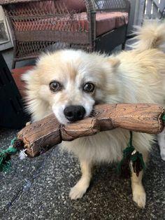 Pomeranian Mix, Beautiful Boys, Animal Rescue, Animals And Pets, Rio, Corgi, Adoption, Cats, Cute Boys
