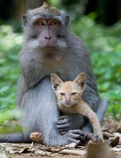 Monkey Adopts Kitten By Anne Young http://avaxnews.net/touching/monkey_adopts_kitten_by_anne_young.html