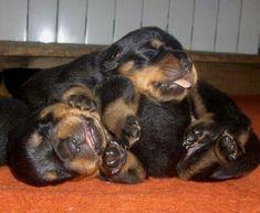 Sleeping Rottie Puppies