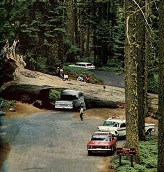 Passageway cut into fallen tree.