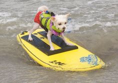 surfing dog =)