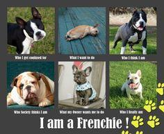 am a French Bulldog!