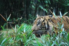 Tiger by nature..... Photography by Melanie Ann