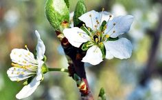 Fruit, Health, Pizza, Medical, Gardening, Alternative Medicine, Therapy, Plum Tree, Free Images