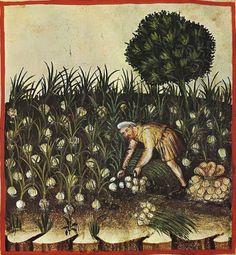 Raccolta dell'aglio, XIV sec.