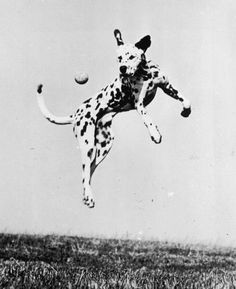 circa 1955: A dalmatian dog jumps to catch a ball (Photo by Three Lions/Getty Images)