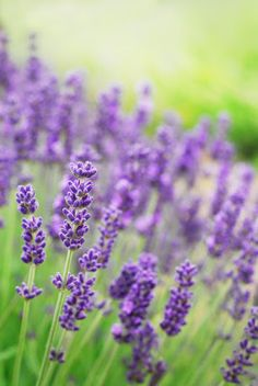 Lavender Oil helps fight Seasonal Affective Disorder (also known as ?SAD?, or ?The Winter Blues?)