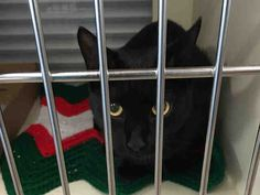 Super Urgent Brooklyn - SNOWBALL – #A1100567 - NEUTERED MALE BLACK DSH MIX, 8 Mos - OWNER SUR - EVALUATE, NO HOLD Reason OWNER SICK - Intake 12/27/16 Due Out 12/30/16 - Came In With JINGLES #A1100566