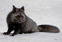 13種の動物それぞれのアルビニズムとメラニズムの対照的な画像を集めました。