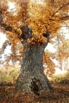 a wise, old tree still beautiful the last days of Autumn Old Trees, Tree Forest, Tree Of Life, Autumn Leaves, Mother Nature, Scenery, Seasons, Pictures, Image