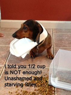 Doxies are so greedy and starving all the time .