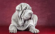 beautiful blue lilac sharpei