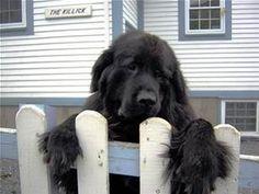 newfoundland dog - Bing Images