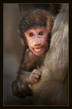Baby baboon-Aww,look at that smile :))