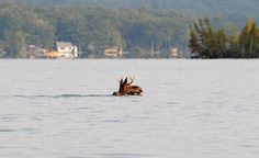 Moose in Lake Dunmore, Vermont. This is where I swim every morning all summer! New England States, Lake Champlain, Mountain States, Vacation Destinations, Vacations, Green Mountain, Vermont, The Great Outdoors, Beautiful Places