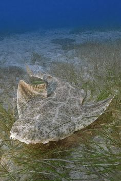 common angel shark It really blends in well with the sea floor. Sea Shark, Life Under The Sea, Beneath The Sea, Water Animals, Underwater Life, Deep Blue Sea, All Nature, Ocean Creatures, Shark Week