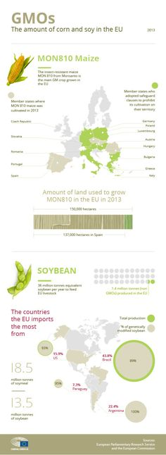 Only one #GMO has been approved for cultivation in the EU so far. #Maize MON 810 was authorised for cultivation in 1998, but this authorisation has now expired and is waiting for renewal. Here's an infographic with 8 things you need to know.