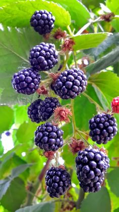 Use blackberries in detox diet recipes and smooothies for gut, liver, and colon cleansing to improve health and wellbeing. Liver Detox Drink, Liver Detox Cleanse, Fruit And Veg, Fruits And Vegetables, Fresh Fruit, Detox Diet Recipes, Alkaline Diet Recipes, Blackberry Benefits, Healthy Picnic