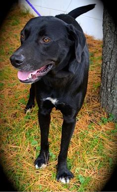 **BONNIE - Labrador Retriever** • Adult • Male • Large Clermont County Humane Society Batavia, OH   Spread the word - October is ADOPT-A-SHELTER DOG Month!   https://www.petfinder.com/petdetail/30537096/ Clermont County Humane Society 4025 Filager Rd, Batavia, OH 45103 513-732-8854