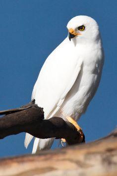 Grey Goshawk  (this is such a lovely bird)