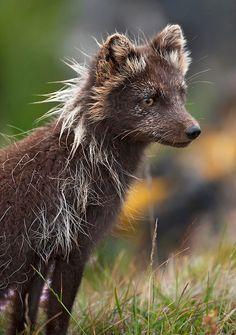 ~~Arctic Fox (Vulpes lagopus fuliginosus)~ Wild Arctic fox in Iceland. Sometimes called mountain-fox byEinar Gudmann~~