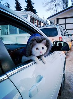 toeianimation:  awwww-cute:  My cat is always so anxious for his daily car rides !  this cat is a human